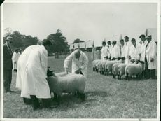 Royal Norfolk Show: Sheep Judging