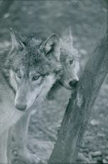 A photograph of two wolves. 1968.