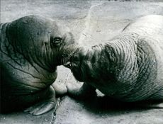 Two walruses kissing each other.