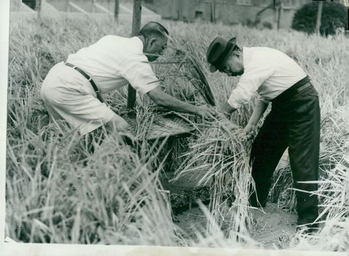 Emperor Hirohito with Chamberlain Irie is involved in the harvesting of the rice according to tradition