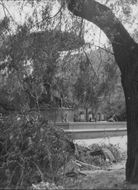 Willow trees have fallen over at Molins fountain in Kungsträdgården - 1 July 1943