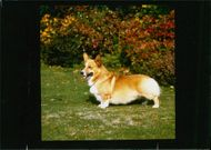 Pembroke Welsh Corgi Dog breed,Dog's With Two Tail's.