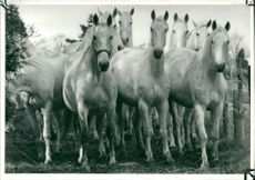 Lipizzaner horses the breed made famous by the spanish riding school in vienna.