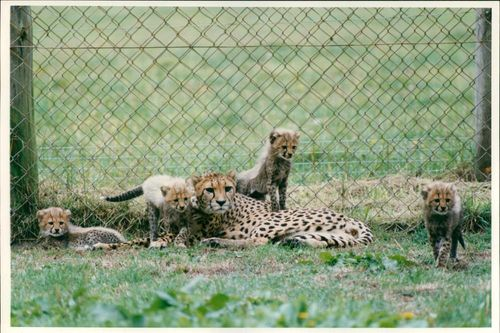Animal: Cheetah cubs
