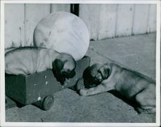 Boxer puppies playing with each other.