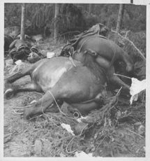 Dead and already bloated horses lying on the ground in Finland.  1941