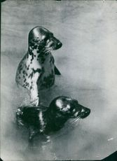 Sea lions in water.