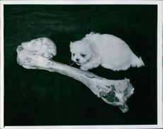 A Peke with  a huge bone.