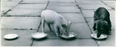 A piglet and a dog drinking milk together.