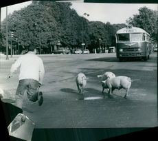 1965  A photo of a man running to stop the pig walking on road because big bus is coming.