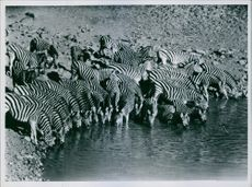 A herd of Chapman's Zebra crowding at the waters' edge to quench their thirst.