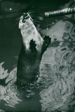 Otter in Tokyo´s Ueno Zoo waiting for eels coming through bamboo tube.