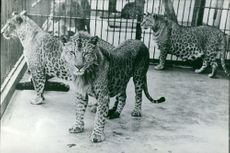 Three leopard in cage.