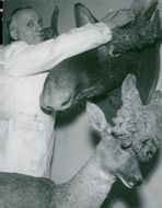 Conservator Meyert with moose and deer head at the National Museum