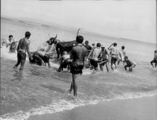 People bathing the animal on the sea., in Bali, January 1963.