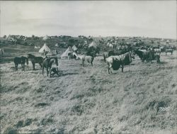 A group of horses in a settlement camp during First World War, 1936.