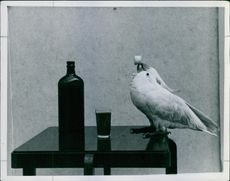 A parrot siting on the table, holding tap of bottle.