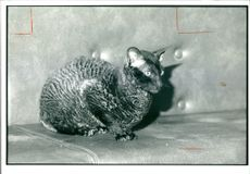 Onyx a chinchilla a serious case of neglect.