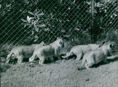 Lion Cubs in a zoo.