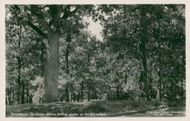 Postcard of the old oak trees in Ulricehamn.