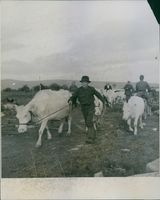 People walking with their cows during Sweden-Finland, 1944.