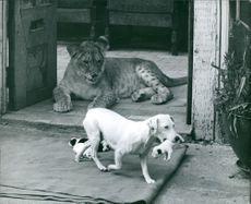 Liza, the lion watching over a litter of puppies.