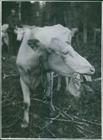1944 A cow eating a piece of paper in the farm.