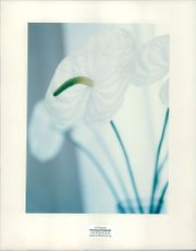 Photograph of white flower.