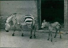 Mother Zebra and child after six hour of birth.