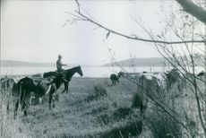 A man riding on a horse with cattle around.