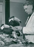 Professor Rendahl with a pair of stuffed tucan from Paraguay at the National Museum