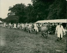 Royal Norfolk Show : Parade of Jersey cattle