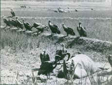 A group of Vulture eating a dead animal.