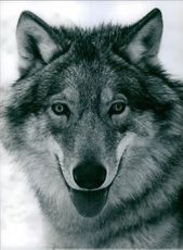 Portrait of a wolf.