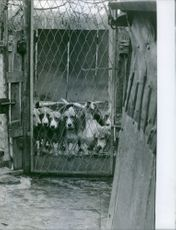 Dogs locked up inside the cage, 1962.