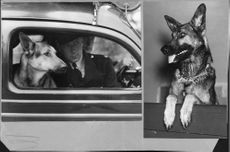 Police dog and best bloodhound Lord in the policecar with his driver and Puck Sweden best police dog