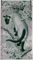 Charles Tunnicliffe: siamese cat in a pear tree.