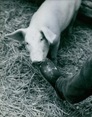 Pig biting the shoe of a man, 1970.