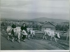 Man and woman walking in street with their cows during Sweden-Finland Relation, 1944.