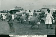 Royal Norfolk Show: Jersey Cows
