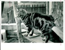 Great odin king of the council cat stud.