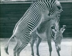 Two zebras playing with each other.
