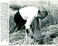 Japanese Emperor Hirohito looks at rice straw which he has been with a sickle in an annual rice harvesting ceremony.