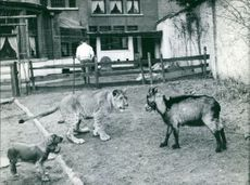 Lioness and goat confronting.