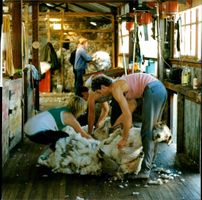 Sheep Shearing on the Falkland Islands.