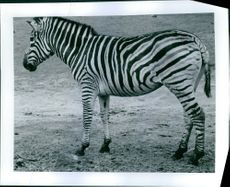 A photograph of a zebra.