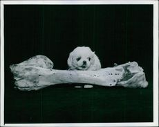 A cute puppy with a large bone.