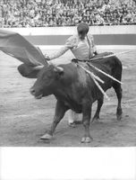Tjurfaltare Cprdpbes standing beside a bull holding a cape. 1985