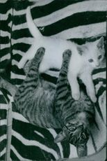 Two cats playing.