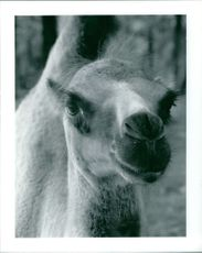 A close-up of a young camel.